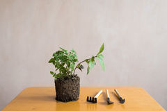 Sprout of basil on a wooden table Stock Photos