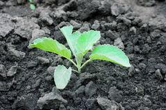 Sprout of cabbage. Young green growing sprout of cabbage Royalty Free Stock Photography