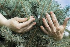 Sprout Christmas tree in the hands of an elderly person. An elderly man is holding a small young blue Christmas tree in his busy hands. Old gardener hugs stock image