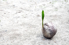 Sprout of coconut tree Royalty Free Stock Photos