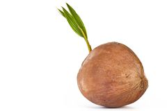 Sprout of coconut tree Stock Photo