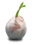 Sprout of coconut tree Stock Images