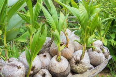 Sprout of coconut tree. Pop out of the coconut Royalty Free Stock Photos