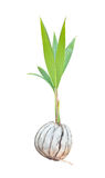 Sprout of coconut tree Stock Image