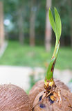 A sprout of coconut tree. Stock Photo
