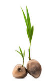 Sprout of coconut tree. On white Background Stock Photo