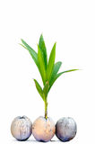 Sprout of coconut tree Royalty Free Stock Photography