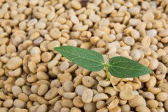 Sprout coffee tree with coffee beans Royalty Free Stock Photography