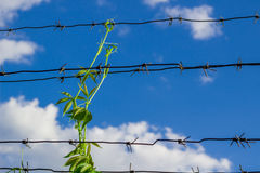 Sprout conquests arbed wire Royalty Free Stock Photography