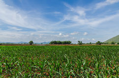 Sprout corn. And blue sky Royalty Free Stock Images