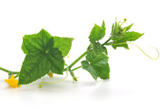 Sprout of cucumber. On white background stock photography