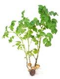 Sprout da batata imagem de stock
