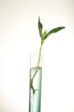Sprout da folha na câmara de ar de teste Fotografia de Stock Royalty Free