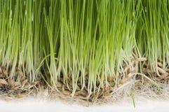 Sprout da grama verde do trigo sobre o branco imagens de stock royalty free