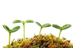 Sprout da mola Imagem de Stock Royalty Free