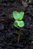 Sprout das folhas do radish imagem de stock