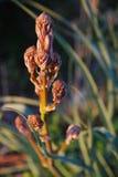 Sprout de Brown Imagem de Stock Royalty Free