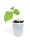 Sprout de um pepino Fotos de Stock Royalty Free