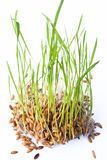 Sprout do arroz Foto de Stock Royalty Free