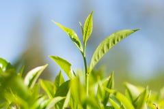 Sprout do chá Fotos de Stock Royalty Free