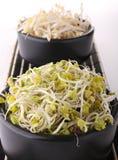 Sprout do grão do Radish e da soja Imagem de Stock