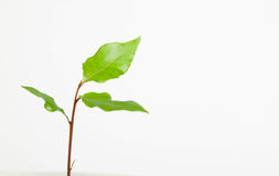 Sprout do louro Fotografia de Stock