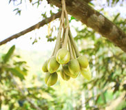Sprout of Durians Stock Photography
