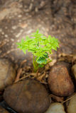 Sprout of ferns. Royalty Free Stock Photography