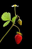 Sprout with flower, green and ripe wild strawberry Royalty Free Stock Image