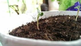 Sprout fresco Fotografia de Stock Royalty Free