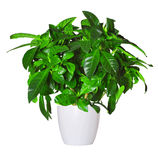 Sprout of gardenia a potted plant isolated over white Stock Image