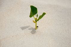 A sprout germinating in the sand, the only green plant.  Stock Image