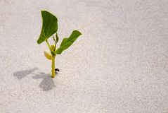 A sprout germinating in the sand, the only green plant.  Royalty Free Stock Photos