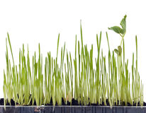 Sprout grass Royalty Free Stock Images