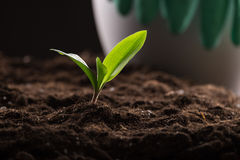 Sprout in ground Royalty Free Stock Image