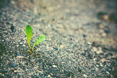 Sprout growing on asphalt Royalty Free Stock Photos