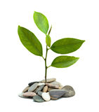 A sprout growing from pebbles Royalty Free Stock Photos