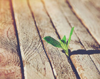 Sprout growing in wooden boards Royalty Free Stock Images