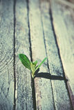 Sprout growing in wooden boards Stock Photo