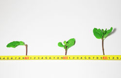 Sprout growth. Three sprouts growing along the measuring tape Stock Photography