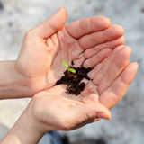 Sprout in hands. Hands holding small seeding with some ground against snow at spring Royalty Free Stock Image