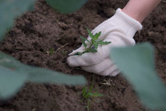 Sprout in hands. Hands in gloves digging up a weed royalty free stock photos