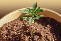 Растки марихуаны действует ли марихуана на печень