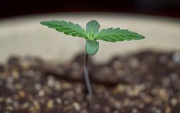 Sprout of hemp cannabis marihuana. Young hemp cannabis marihuana, shoots through the ground Royalty Free Stock Photography