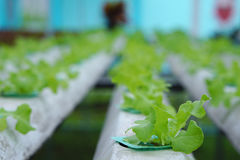 Sprout in Hydroponics farm Royalty Free Stock Images