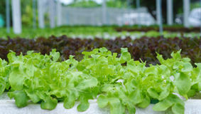 Sprout in Hydroponics farm Royalty Free Stock Photo