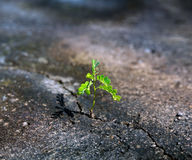 Sprout makes way through crack in asphalt. Young sprout makes way through a crack in asphalt on city road royalty free stock photos