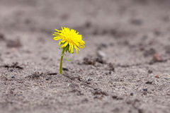 Sprout makes  way through sand. Young sprout makes the way through sand Royalty Free Stock Photography