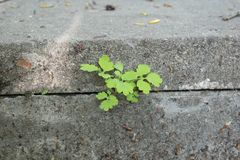 Sprout making its way through the stone slabs royalty free stock photo