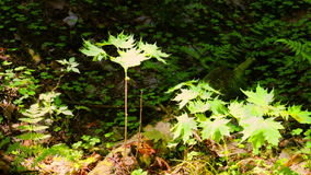 Sprout maple tree. Swaying in the wind stock video footage